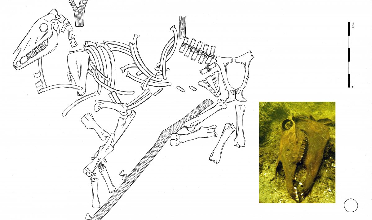 Drawing of the horse's skeleton and a photo of the horse's skull in the waters of Zarańsko lake (drawing by B. Kowalewska, photo by P. Białowicz)